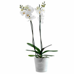 orchidee blanche nyon